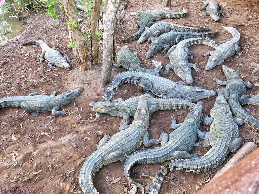 Крокодиловая ферма, вьетнам, vietnam, aligators